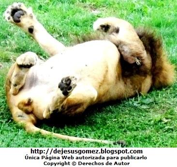 Foto de un león rascándose la espalda en el Parque de las Leyendas. Foto de león Jesus Gómez