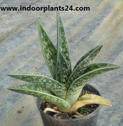 Aloe variegata plant image