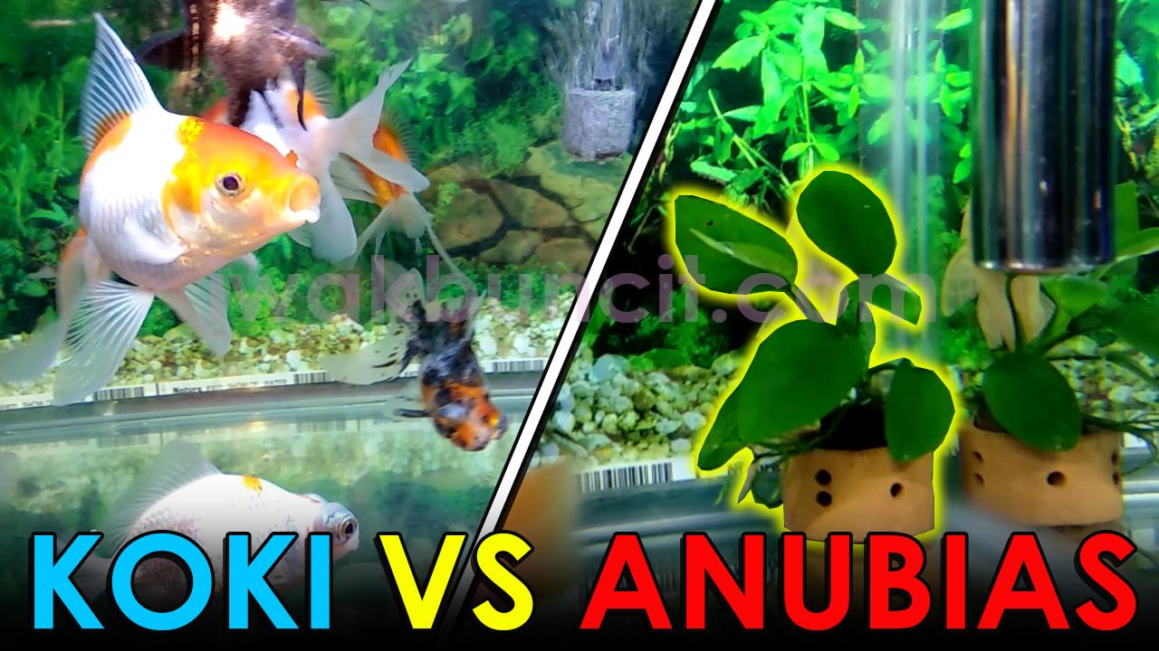 Apa Yang Terjadi Jika Tanaman Anubias Di Aquarium Ikan Mas Koki