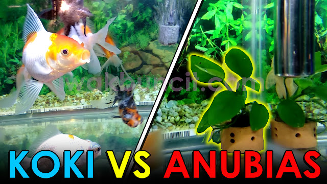 Apa yang Terjadi Jika Tanaman Anubias di Aquarium Ikan Mas Koki? 🤔