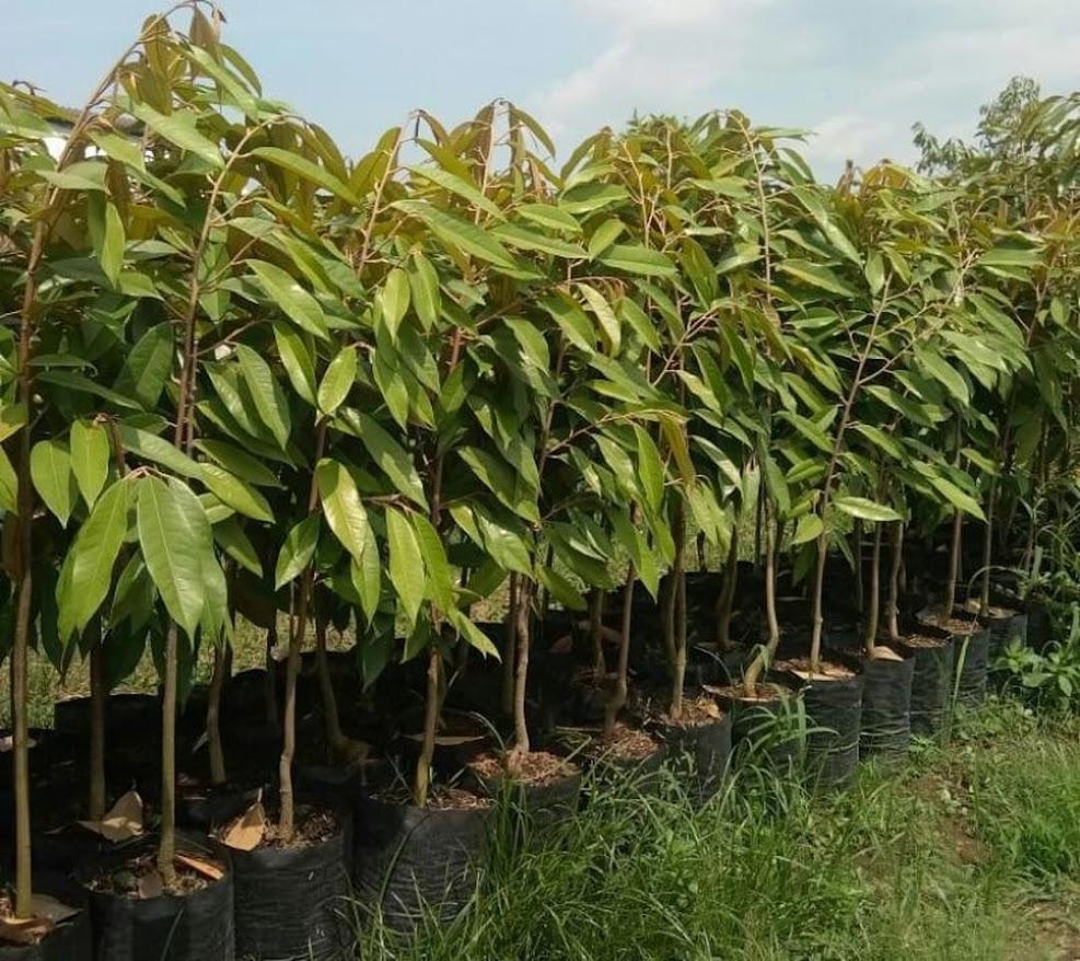 Bibit Durian Musangking Jawa Barat