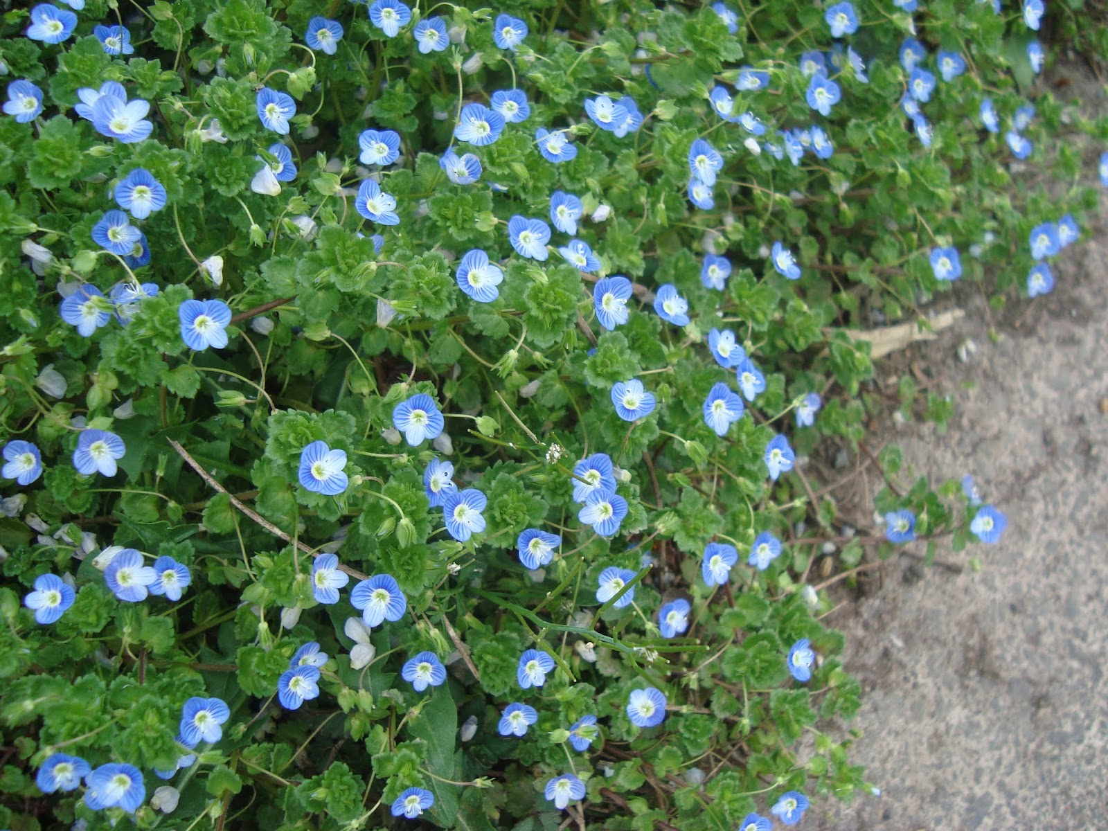 Blue flower weed in lawn sulechow random spring weed identification princeton nature notes spurge lawn weed identification identify weeds photos tiny blue flowers magnified 3x izmirmasajfo