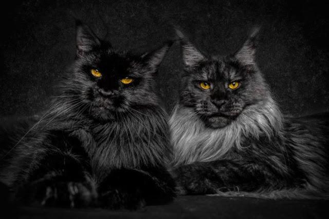 (11 Foto) Juru Foto Ini Ambil Gambar Kucing Baka Maine Coon Dari Sudut Majestik, Garang