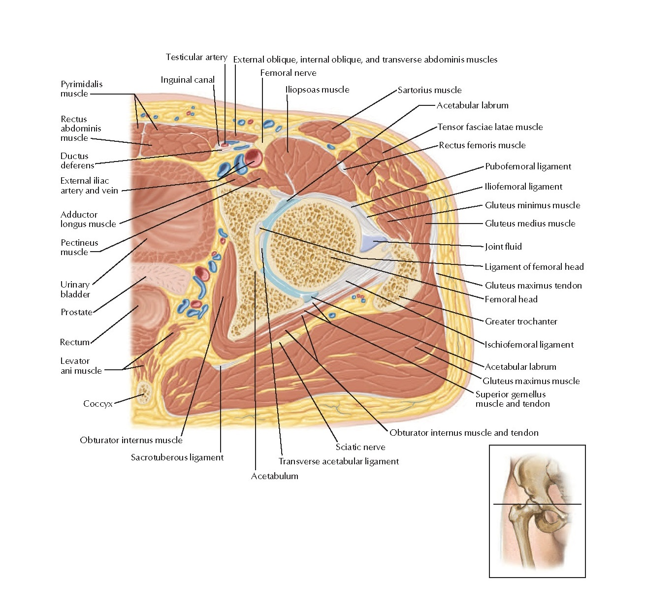 Cross-Sectional Anatomy of Hip: Axial View Anatomy