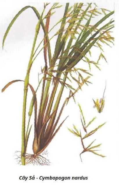 Hình ảnh Cây Sả - Cymbopogon nardus - Nguyên liệu làm thuốc Chữa Cảm Sốt