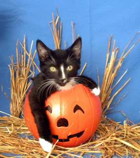 Chrys, tuxedo kitten, male