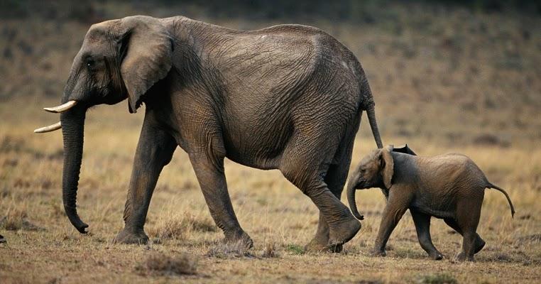 Gambar Gajah Besar Di Dunia