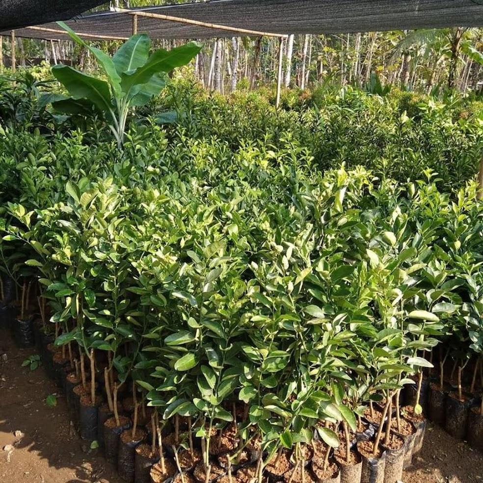 Bibit jeruk sunkist manis murah Sumatra Barat