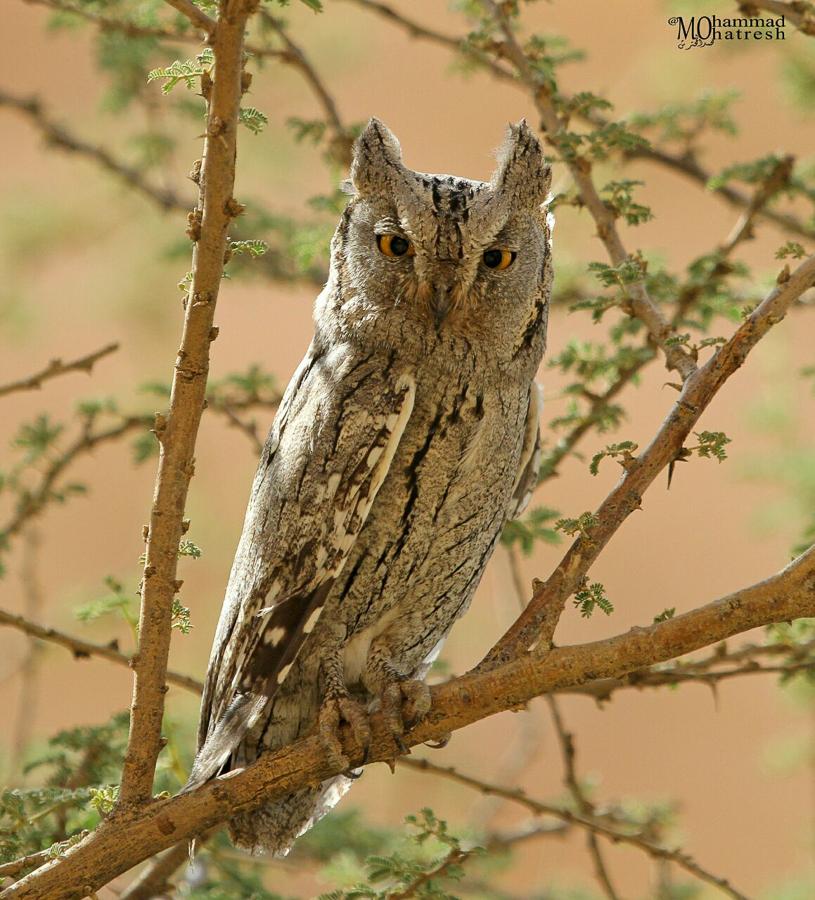 Pallid Scops Owl i