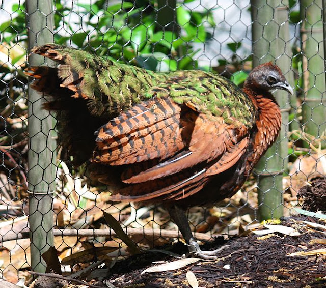 merupakan spesies burung yang sangat elok dan begitu populer di dunia Mengenal Burung Merak dan Jenis-Jenisnya