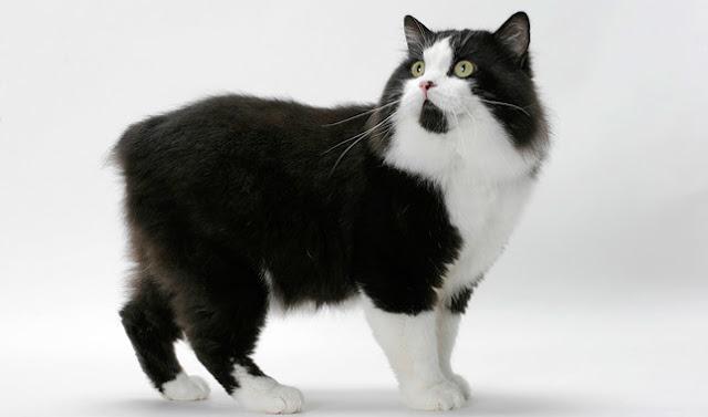 Cymric %2Bpets%2Babss - Four Cаnаdіаn Cat Brееdѕ All Cat Lovers Should Knоw