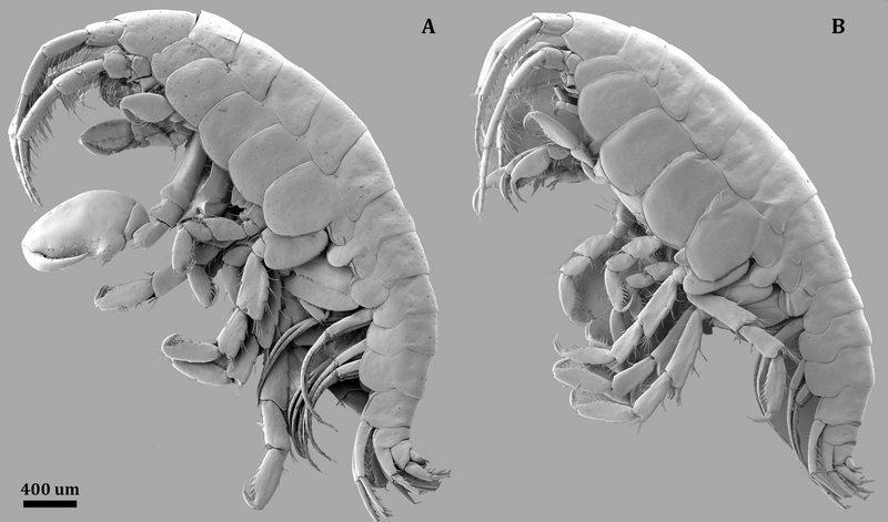 Nueva especie de crustáceo apareció por culpa de un paté defectuoso