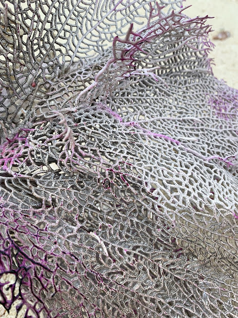 purple sea fan coral