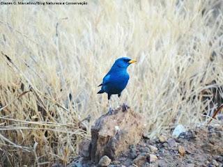aves do brasil, campainha-azul, Porphyrospiza caerulescens, aves do cerrado, birdwatching, birding, birds of the savanna, ornitologia, birds, pássaros, aves, observação de aves.