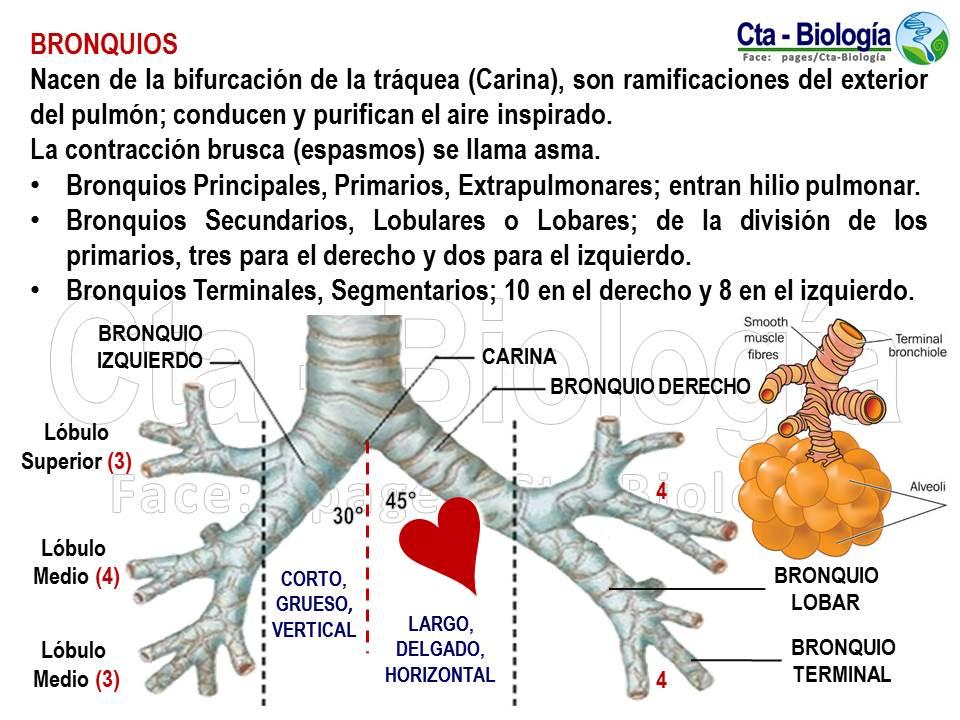Fantástico Anatomía Bronquio Intermedio Galería - Anatomía de Las ...