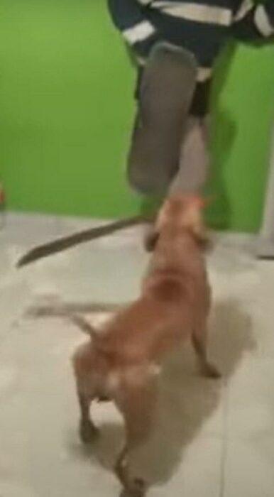 Perrito mestizo acorrala a un hombre y lo amenaza con un machete en el hocico