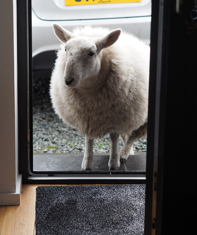 Lamb at the front door of the Bothy