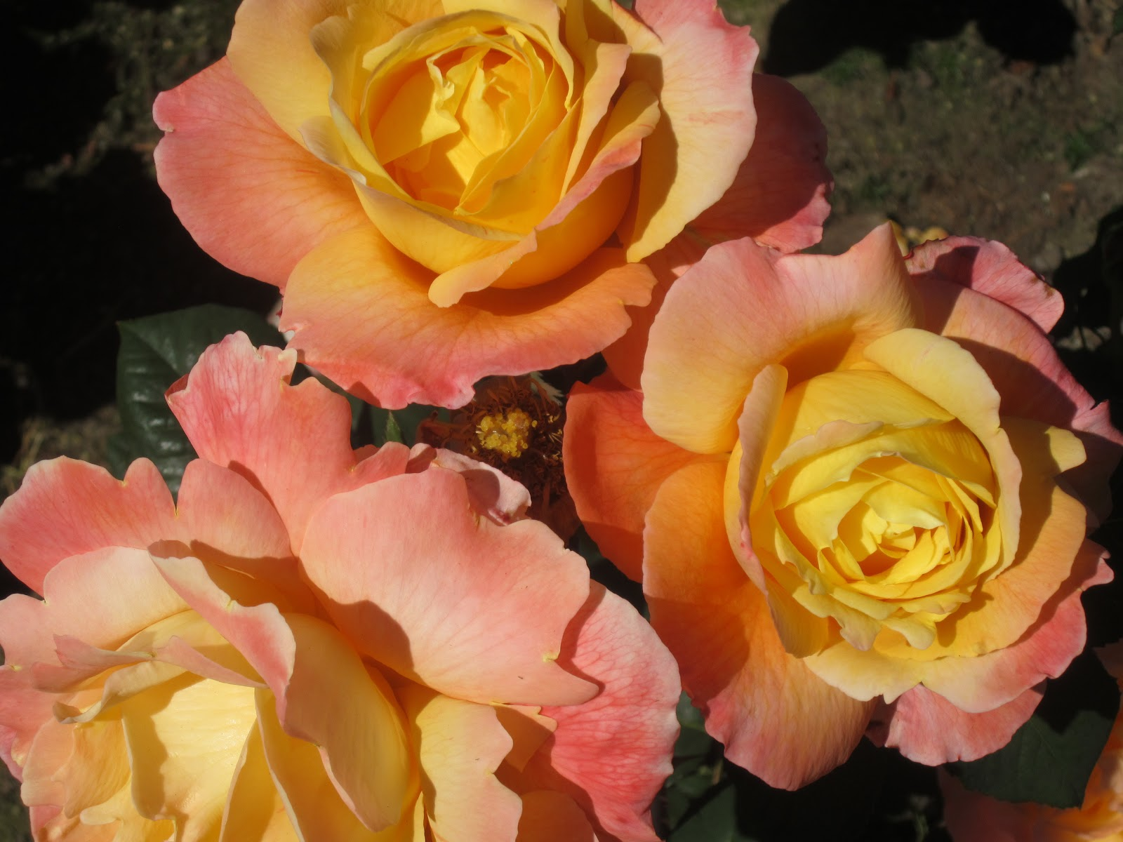 Roses In Garden: Sprouts: International Rose Test Gardens-Portland, OR