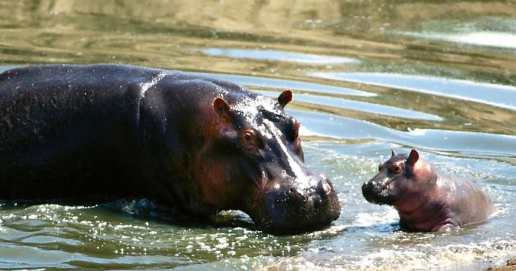 animal hippo wallpaper 1600x1200 - photo #28