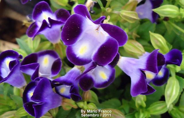 amor-perfeito-de-verão ( Torenia fournieri )