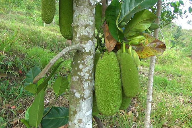 Dlium Cempedak (Artocarpus integer)