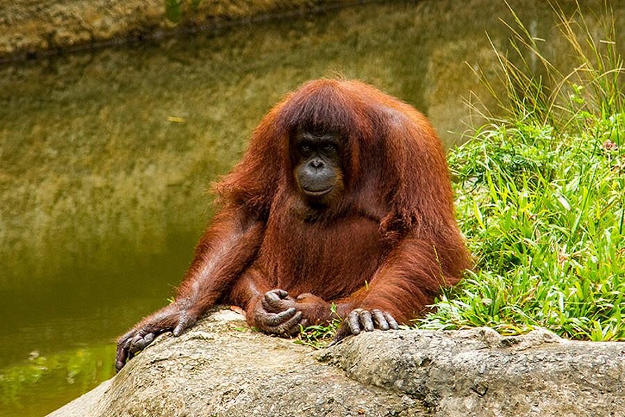 Старый орангутан