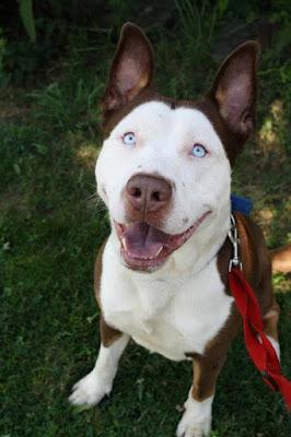 1. La beauté de ce croisement entre un Husky et un Pitbull vous coupera le souffle instantanément. (© blessowniazwiru.soup.io)