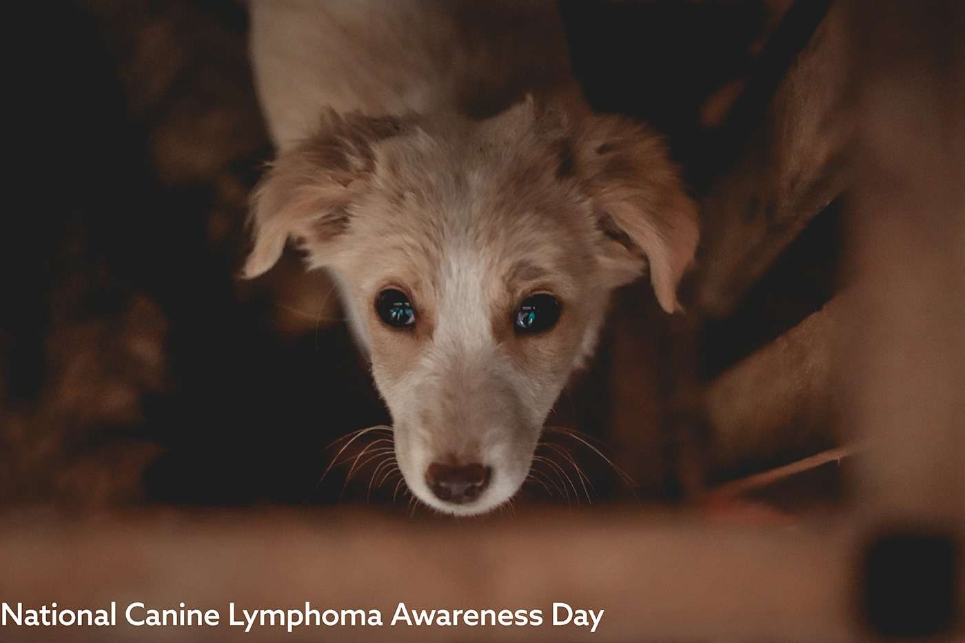National Canine Lymphoma Awareness Day Wishes Awesome Images, Pictures, Photos, Wallpapers