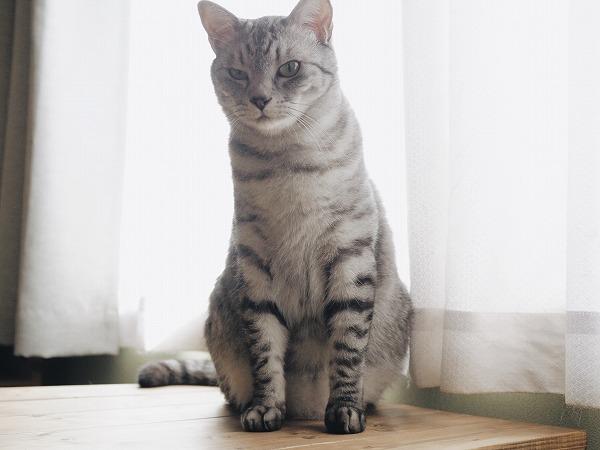 逆光を浴びて佇むサバトラ猫