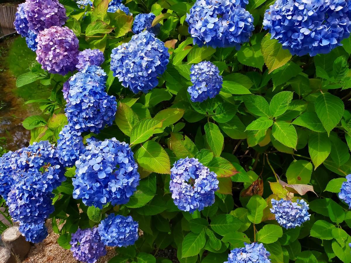 群れて咲く濃い紫の紫陽花の花。