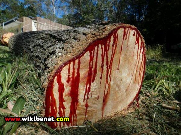 صور الشجرة التي تنزف دما عند قطعها ، شجرة الدماء 2018