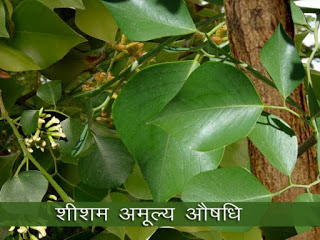 शीशम अमूल्य औषधि, Dalbergia Sissoo - Sheesham Leaves Benefits in Hindi, Benefits Of Sheesham Elements, शीशम के फायदे, लाभ, उपयोग, शीशम के औषधीय गुण से लाभ, Sheesham Leaves Benefits, sheesham ke fayde, sheesham ke aushadhi gun, sheesham aushadhi , शीशम के पत्ते का उपयोग, शीशम के औषधीय गुण , शीशम की घरेलू दवाएं, sheesham ke gharelu dawai