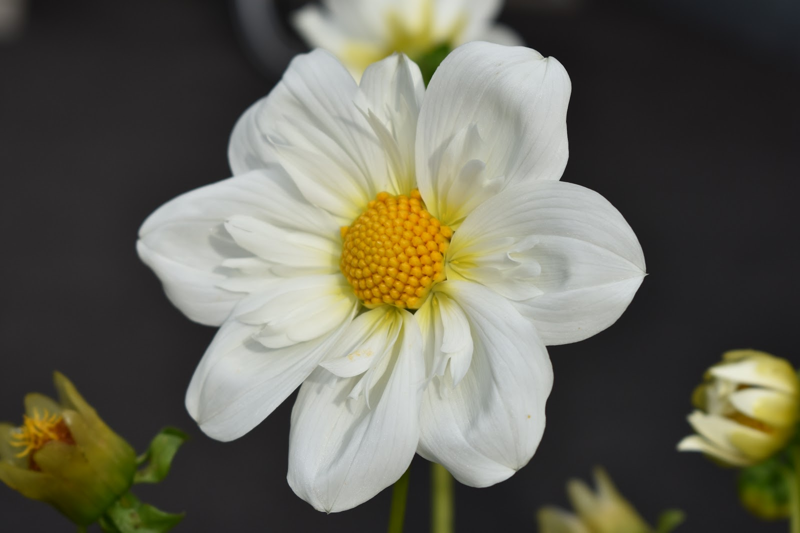 Dahlia 'Twyning's White Chocolate'
