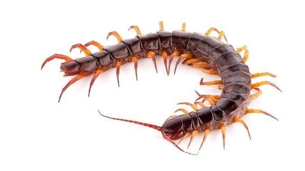 how to treat centipede bites