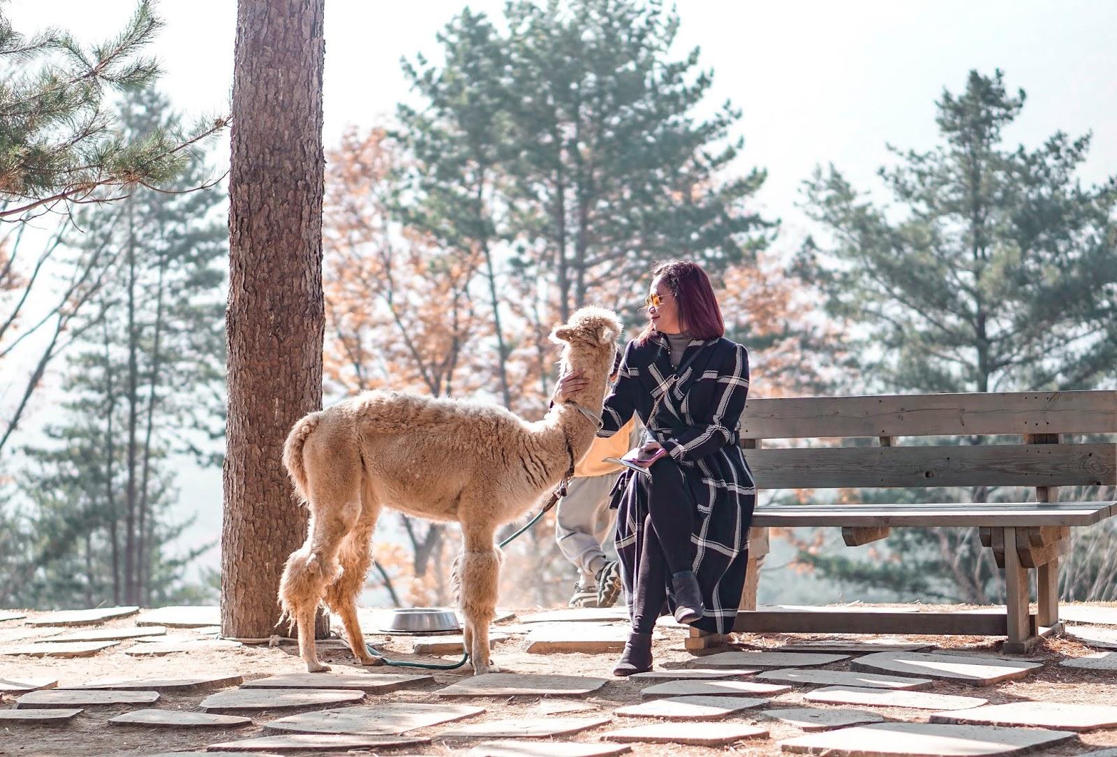 South Korea, AutumnInKorea, TrazyMemories, Alpaca World, Gangwon, what to do in South Korea, Seoul, Asia, abroad, thedailyposhtravels, the daily posh,alpaca farm in Gangwon, Alpaca Farm