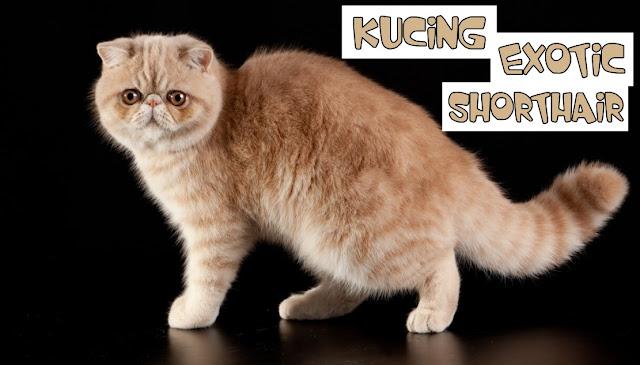 Jual Kucing Exotic Bandung