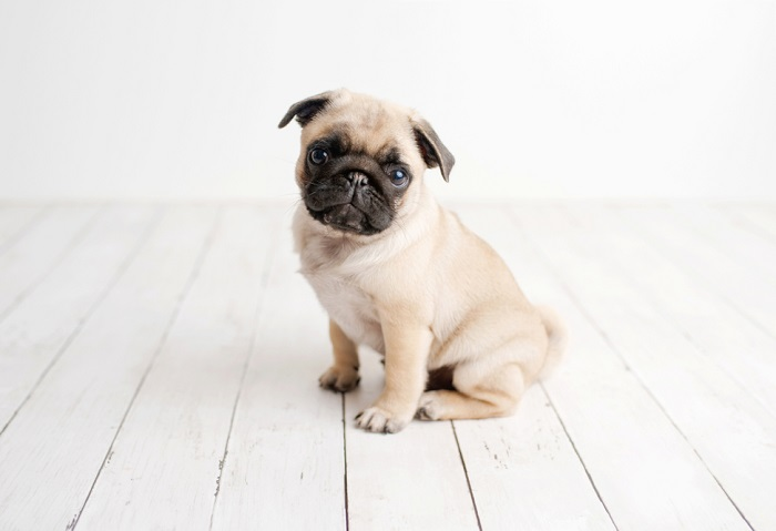 Pug 5 Breeds of Dogs Based On Your Personality & Needs