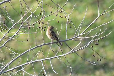Pardal comú (Passer domesticus)