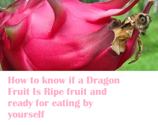 How to know if a Dragon Fruit Is Ripe fruit and ready for eating by yourself