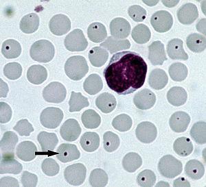 Anaplazma u mikroskopskom nalazu krvi psa Panvet