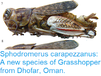 https://sciencythoughts.blogspot.com/2017/06/sphodromerus-carapezzanus-new-species.html
