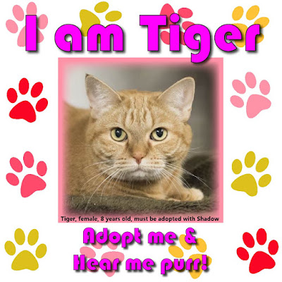 Tiger is a female orange tabby cat, 8 years old, who must be adopted with her sister Shadow