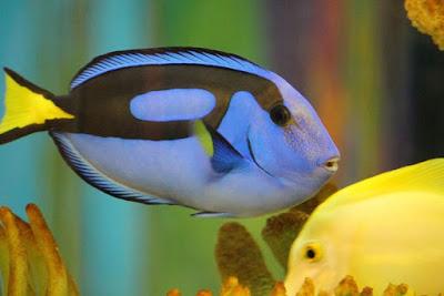 Ikan Hias Air laut Blue Tang ( Blue Dory )