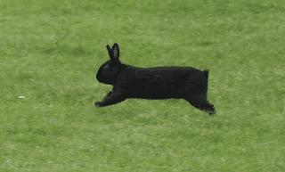 kelinci jantan