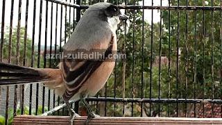 Burung Cendet Juara