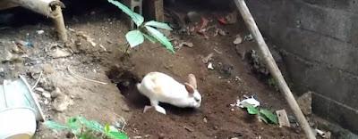 Gambar Kelinci lucu dan imut membuat sarang