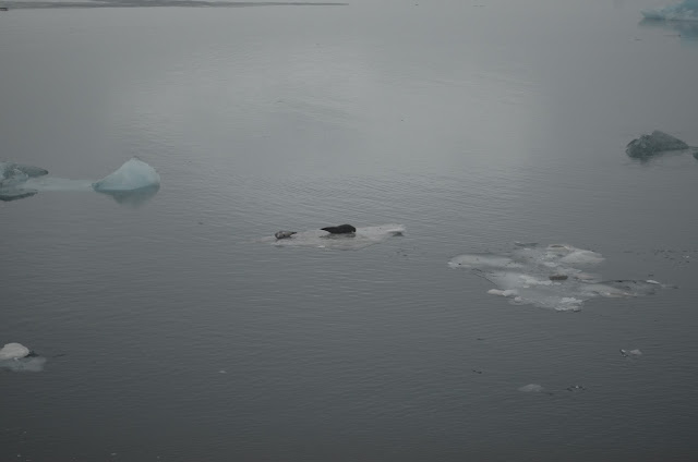 Focas no Glacial Jökulsárlón na Islândia