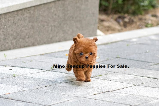 Mino Teacup Tiny Puppies - Micro Teacup Angel For Sale : Meet