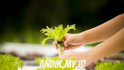 hidroponik, tanaman hidroponik, tanaman,
