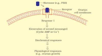 Mechanism of Follicle stimulating hormone